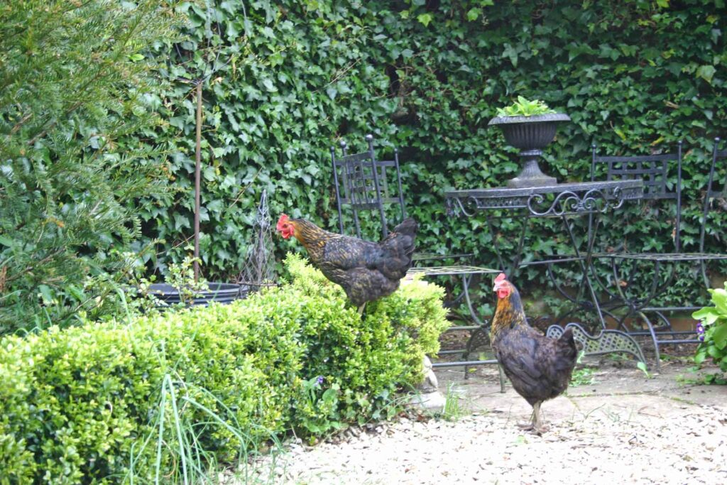 The Chickens On The Rampage In Hillesley