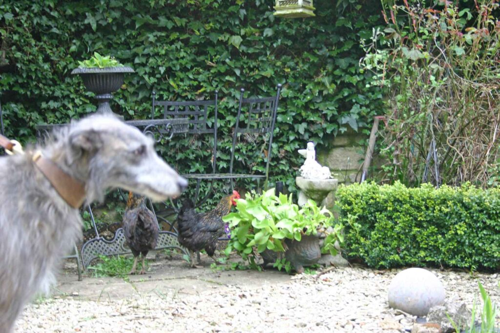 Ellie Is Very Cross About The Chicken Invasion