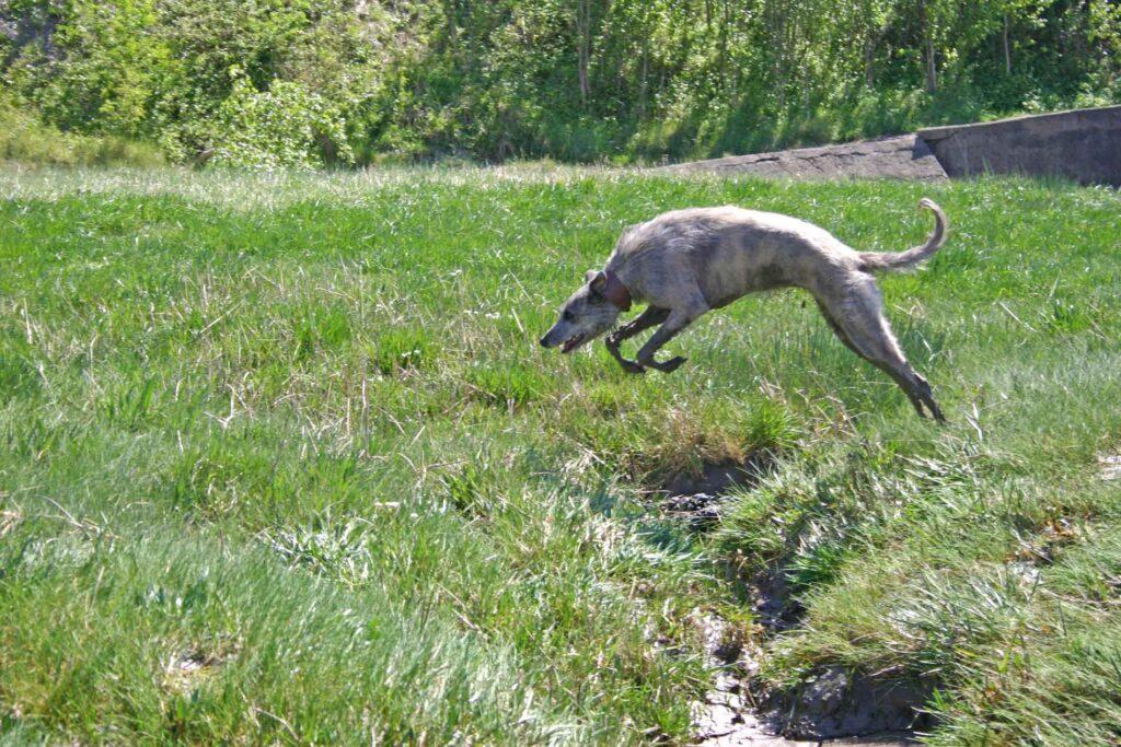 Ellie Leaping A Rhine At Aust Warth