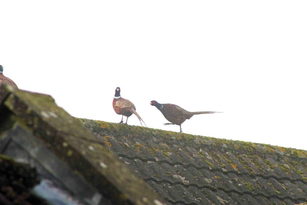 Goose-Stepping Pheasants