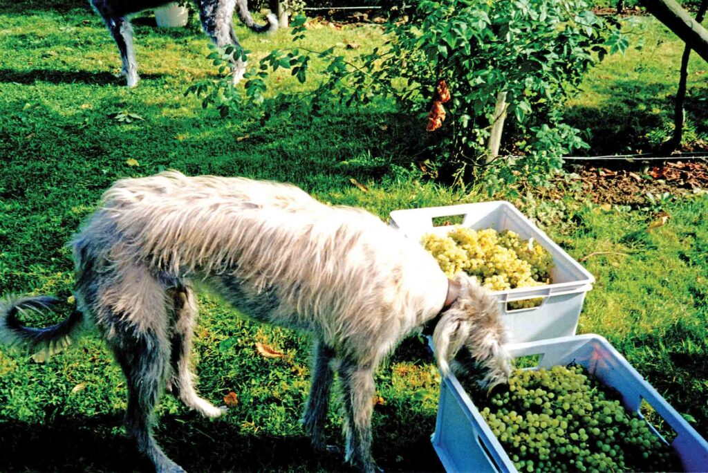 The Lurcher and The Grapes - What's The Moral of The Tail?!
