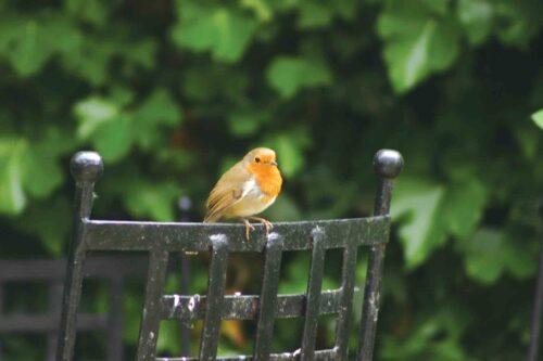 Romeo The Robin